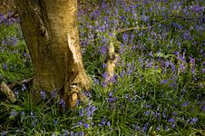 Free Bluebells Royalty Free Stock Photos - 16844908