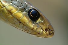 Free Snake Eye Royalty Free Stock Image - 16845316