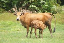 Free Cow Breast Feeding Stock Images - 16847114