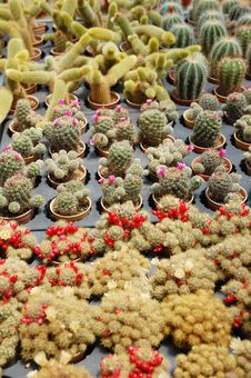 Free Cactus Plants Royalty Free Stock Photo - 16847115