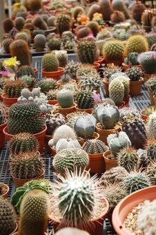 Free Cactus Plants Royalty Free Stock Photos - 16847128