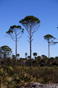 Free Three Pines Royalty Free Stock Photo - 16847485