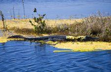 Free Camoflaged Alligator Stock Image - 16847521