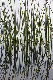 Free Reflections Of Reeds Royalty Free Stock Photos - 16847588