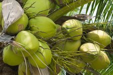 Free Coconuts Stock Photography - 16848042