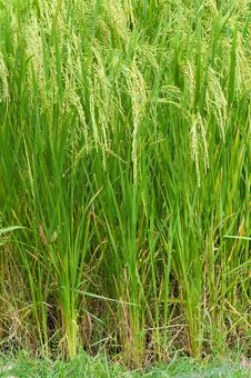 Free Rice Farm Royalty Free Stock Photography - 16848167