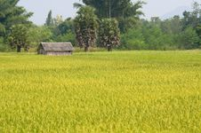 Free Rice Farm Royalty Free Stock Image - 16848246