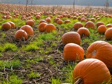 Free Halloween Pumpkin Field Background Image Royalty Free Stock Photography - 16848847