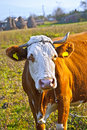 Free Old Cow Royalty Free Stock Photography - 16850757