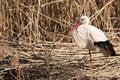 Free White Stork On Reed Stock Image - 16851281