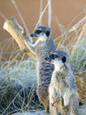 Free Two Meerkats Royalty Free Stock Photo - 16853005