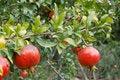 Free Pomegranate Fruit Stock Images - 16853934
