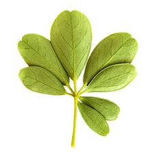 Free Green Leaf Royalty Free Stock Photography - 16850447