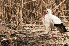 Free White Stork On Reed Stock Image - 16851281