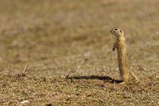 Free European Ground Squirrel Stock Photos - 16851333