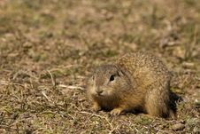 Free European Ground Squirrel Royalty Free Stock Photography - 16851927