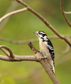 Free Male Downy Woodpecker, Picoides Pubescens Stock Image - 16851951