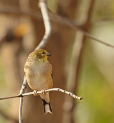 Free American Goldfinch, Carduelis Tristis Royalty Free Stock Photography - 16851987