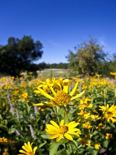 Free Field Of Yellow Daisies Royalty Free Stock Image - 16852406