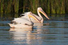 White Pelicans Pair Royalty Free Stock Photo