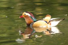 Free Mandarin Duck Drake Stock Images - 16852604
