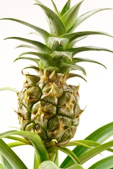 Free Bromeliad Pineapple Royalty Free Stock Photo - 16852915