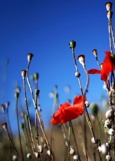 Free Snail Poppies Royalty Free Stock Image - 16853176