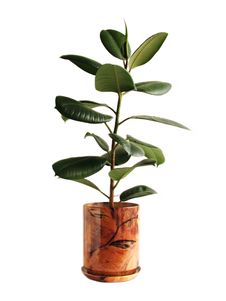 Free A Big Ficus Royalty Free Stock Photography - 16853337