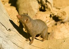 Free Mongoose Royalty Free Stock Photography - 16853377