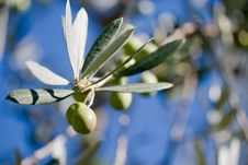 Free Olive Branch Stock Photo - 16853870