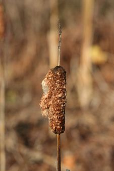 Free Autumn Cattail Stock Photography - 16853892