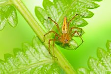 Free Lynx Spider Royalty Free Stock Photography - 16854907