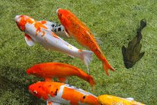 Free Colorful Koi Carps Stock Image - 16855311