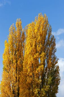 Free Yellow Tree Royalty Free Stock Photos - 16857608