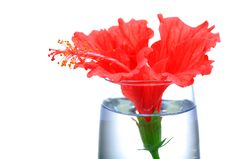Free Red Hibiscus Flower Royalty Free Stock Image - 16858196