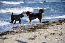 Free Dogs Playing At The Beach Stock Photography - 16858662