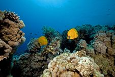 Free Butterflyfish In The Red Sea. Stock Image - 16858811