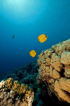 Free Butterflyfish In The Red Sea. Royalty Free Stock Photography - 16858827