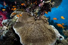 Free Coral And Fish In The Red Sea. Stock Photos - 16859203