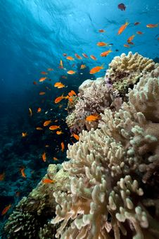 Free Coral And Fish In The Red Sea. Royalty Free Stock Images - 16859249