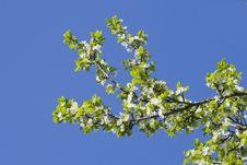 Free Flowering Apple-tree Stock Photo - 16859250