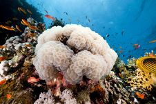 Free Bubble Coral And Fish In The Red Sea. Royalty Free Stock Photography - 16859327