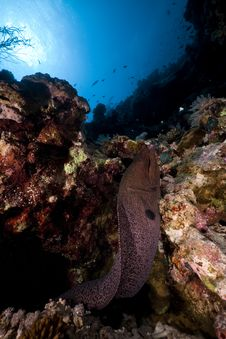 Giant Moray In The Red Sea. Royalty Free Stock Photo