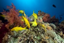 Free Yellowsaddle Goatfish In The Red Sea. Stock Images - 16859534