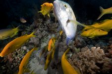 Free Yellowsaddle Goatfish In The Red Sea. Royalty Free Stock Photos - 16859558