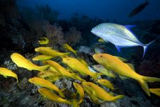 Free Yellowsaddle Goatfish In The Red Sea. Stock Image - 16859571