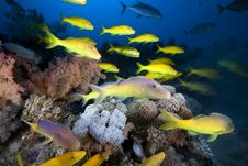 Free Yellowsaddle Goatfish In The Red Sea. Royalty Free Stock Images - 16859589