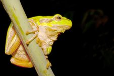 Green Tree Frog  / Hyla Arborea Royalty Free Stock Photography