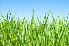 Free Growing Grass Stock Photo - 16859980