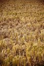Free Rice Fields After Harvest Stock Images - 16862264